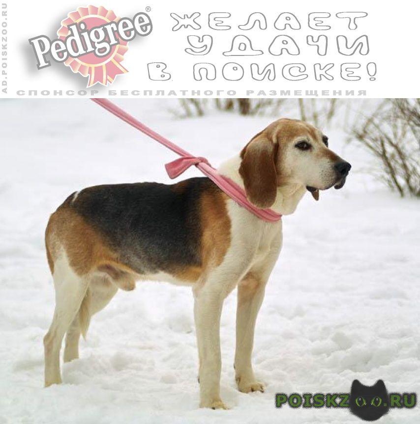 Найдена собака кобель. эстонская гончая наро-фоминский г.Апрелевка