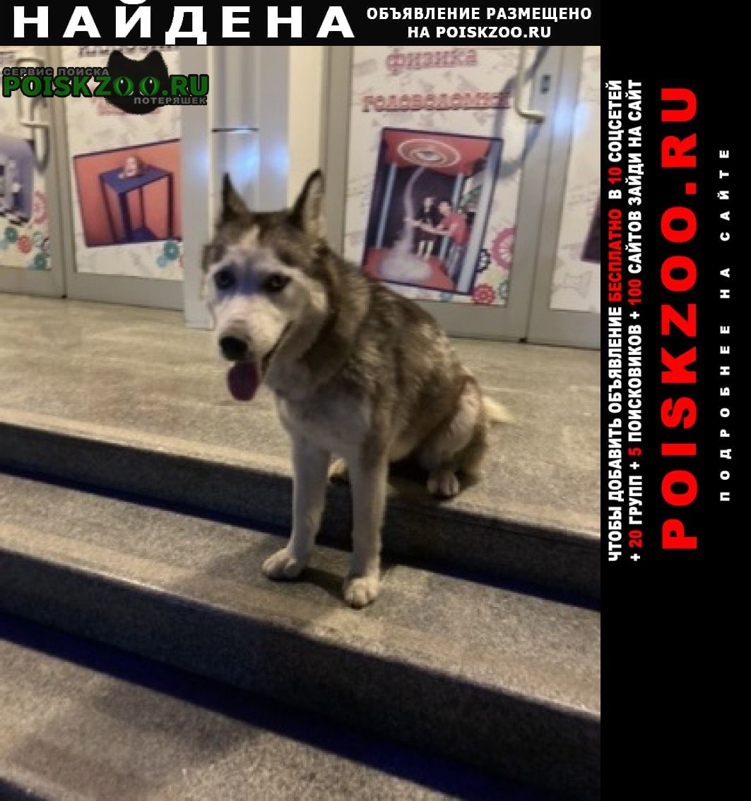 Найдена собака хаска худая Сочи