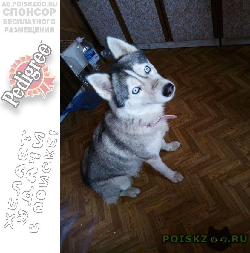 Найдена собака серая девочка хаски в розовом ошейнике. г.Железнодорожный (Московск.)