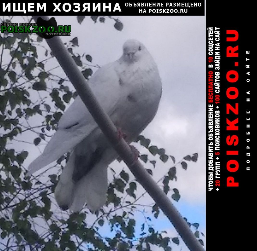 Александров Найдено домашнее животное голубь(голубка).