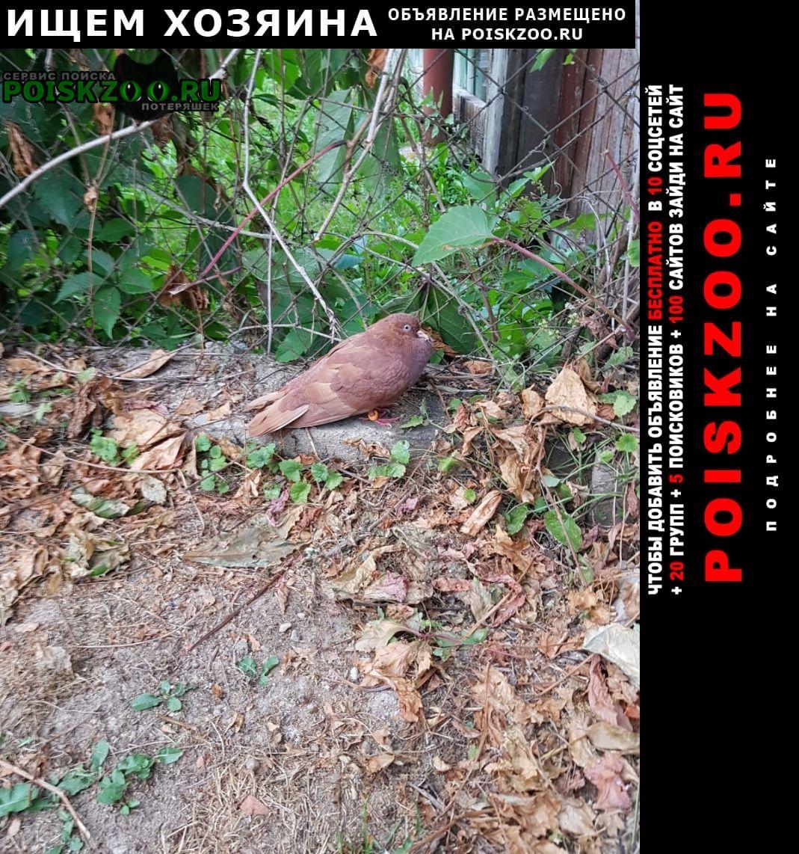Одинцово Найдено домашнее животное голубь