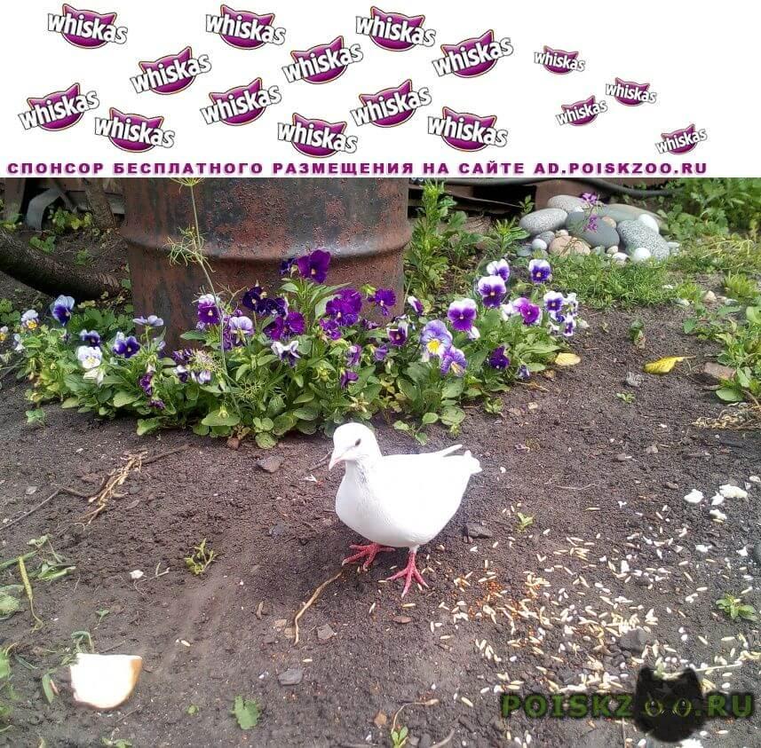 Найдено домашнее животное  белый голубь г.Тамбов
