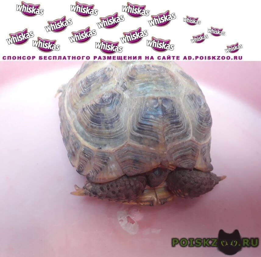 Найдено домашнее животное сухопутная черепаха г.Казань