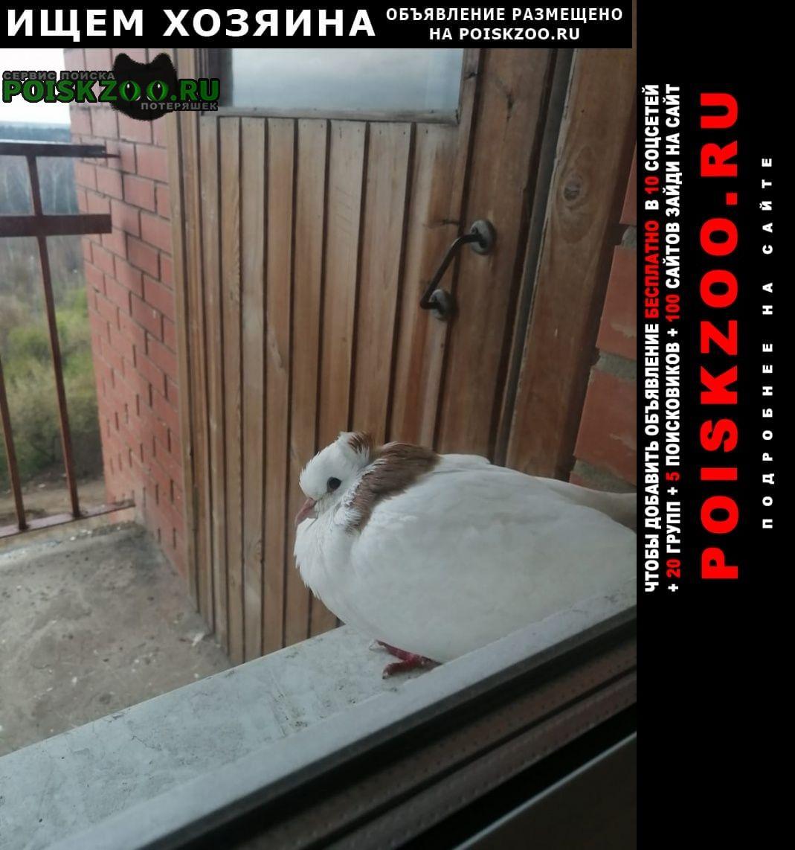 Найдено домашнее животное голубь домашний Королев