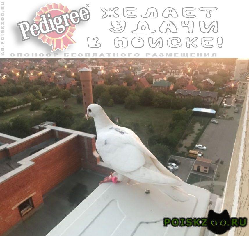 Найдено домашнее животное голубь г.Краснодар