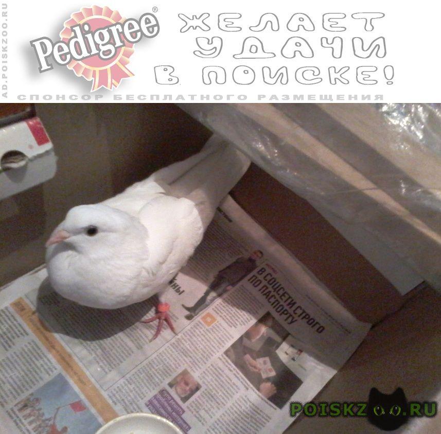 Найдено домашнее животное голубь г.Москва