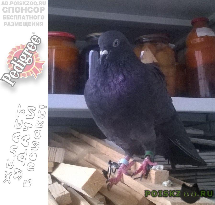 Найдено домашнее животное прижился голубь г.Смоленск