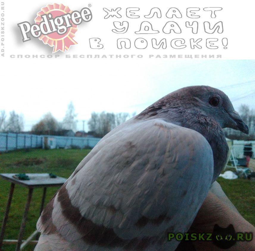 Найдено домашнее животное голубь г.Красноармейск (Московская обл.)
