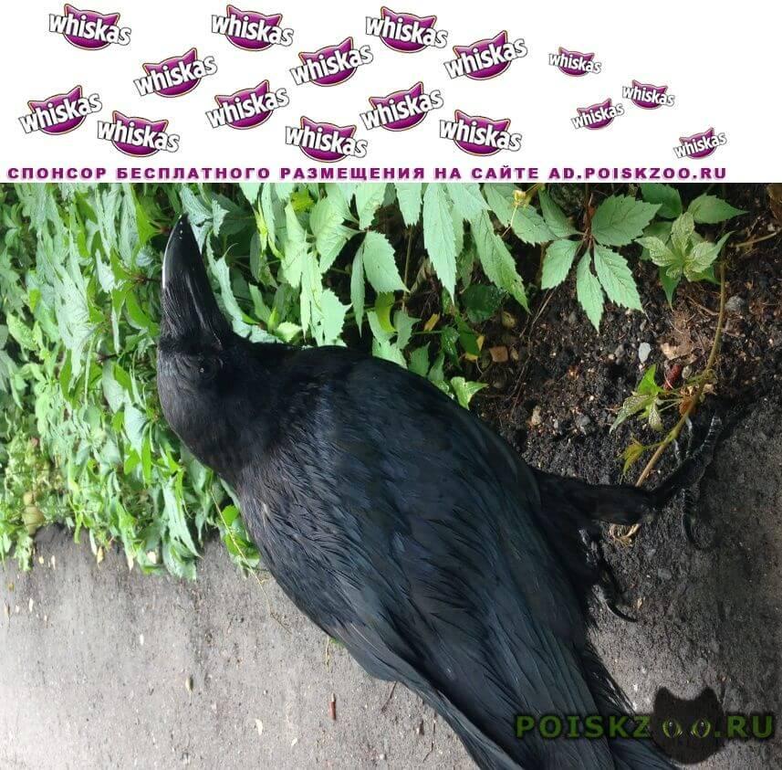 Найдено домашнее животное ворон г.Одинцово