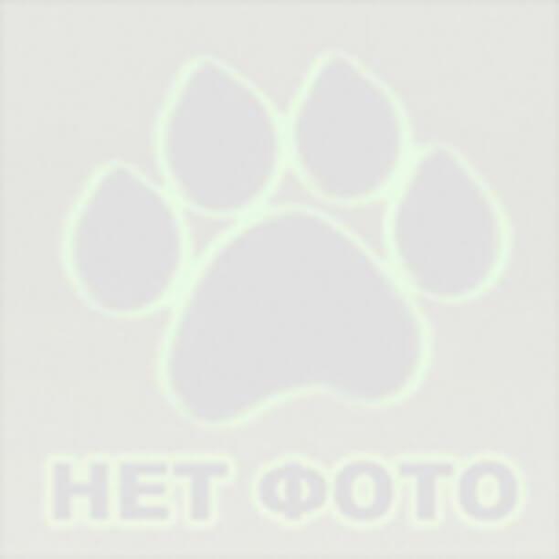 Найдена собака порода ягд-терьер г.Жуковка