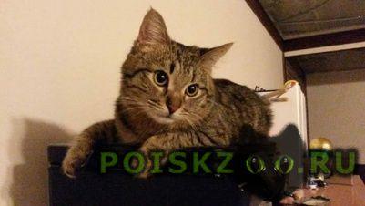 Пропал кот серый г.Ивантеевка (Московская обл.)