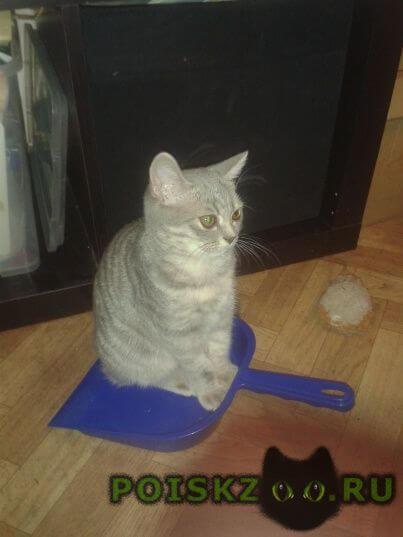 Пропала кошка полосатая стриженная британка г.Краснодар