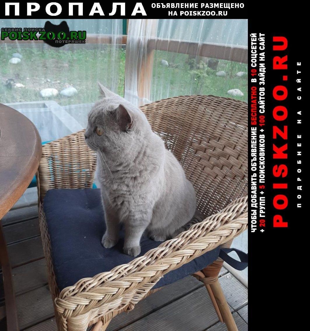 Раменское Пропала кошка наша, британка
