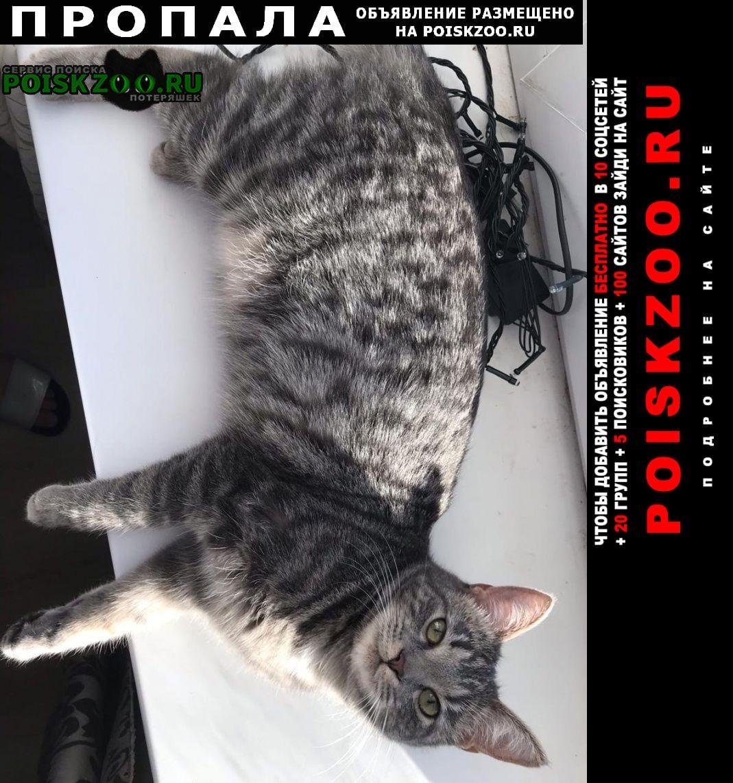Пропала кошка тея 1 год (миниатюрная) Великий Новгород (Новгород)