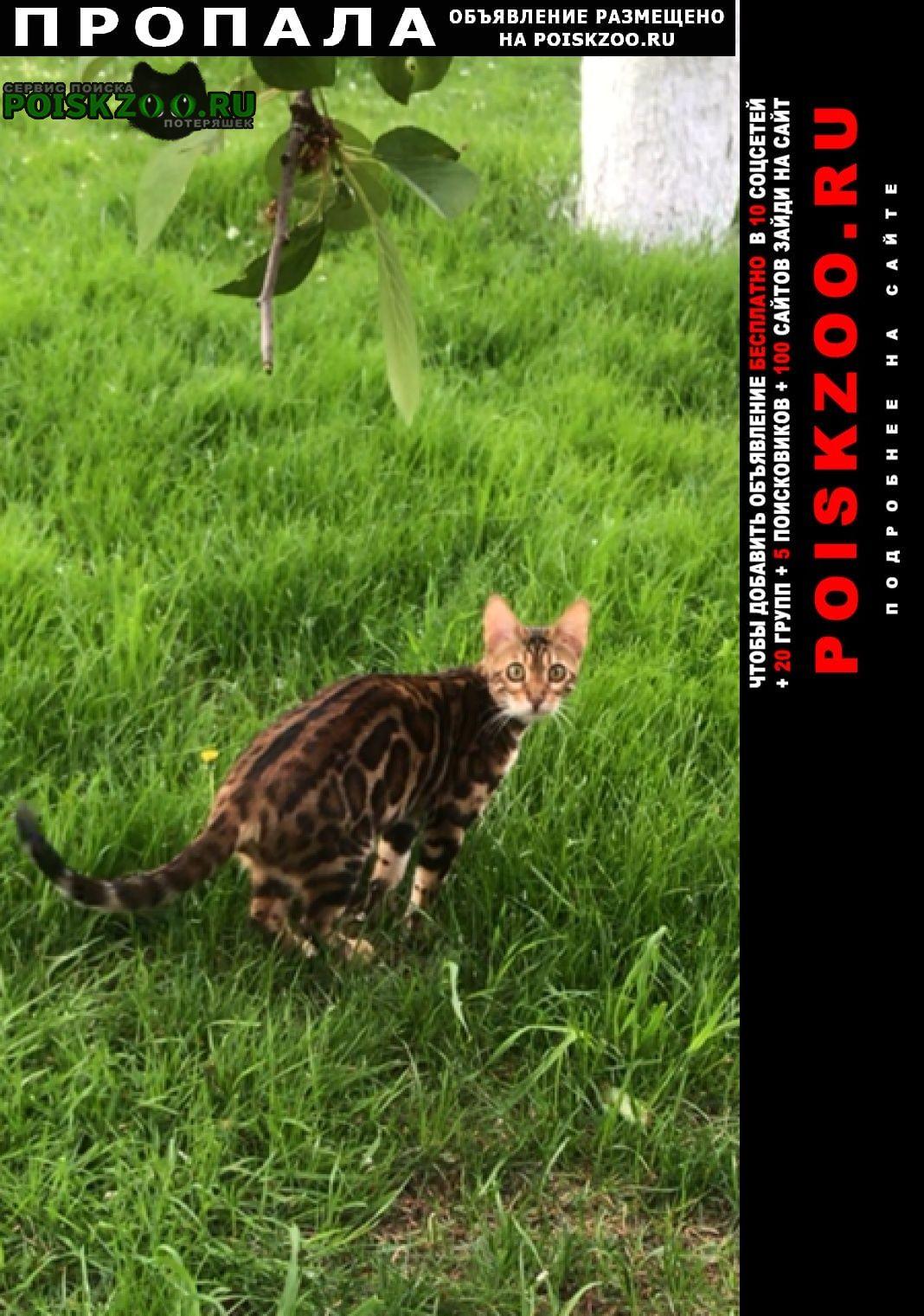 Пропала кошка кошечка бенгал Волжский (Волгоградская обл.)
