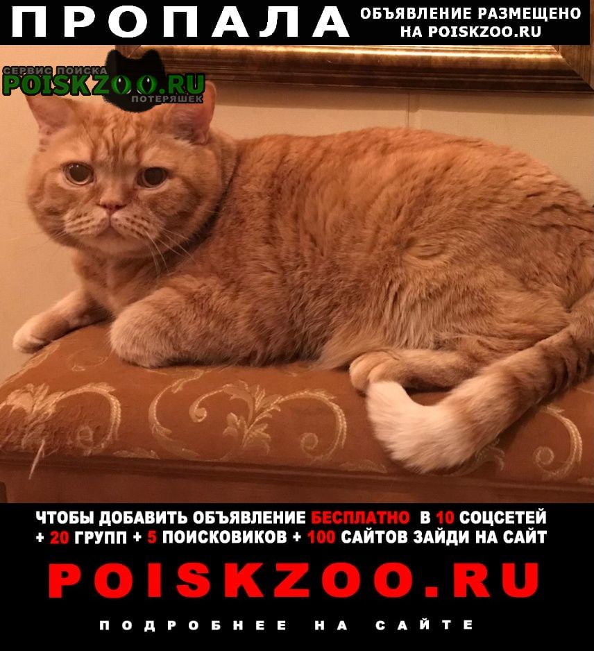 Пропал кот рыжий британец снт антракт Санкт-Петербург