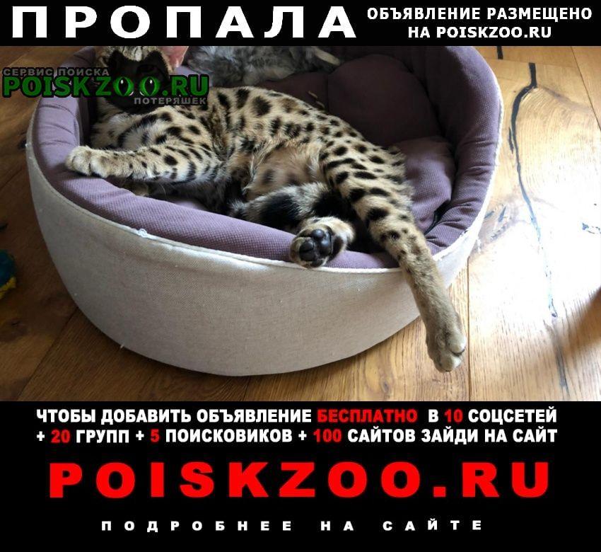 Пропал кот вёшки бенгальская кошка Москва