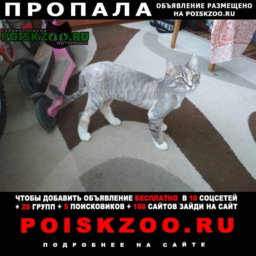 Пропала кошка серая с белыми лапами Великий Новгород (Новгород)