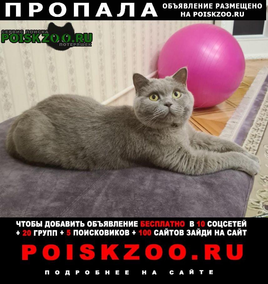 Пропала кошка, порода британская Георгиевск