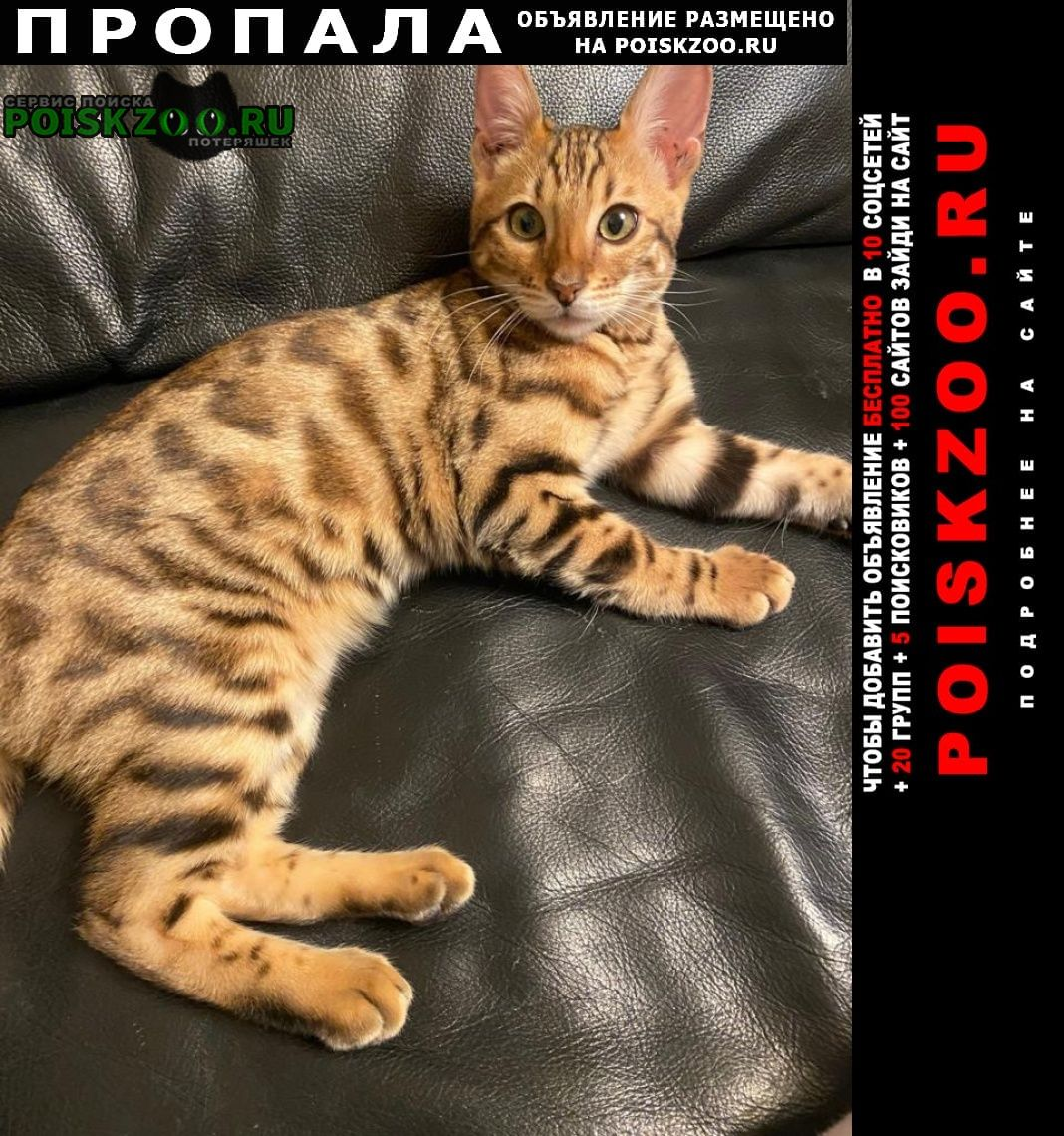 Пропала кошка бенгальская.в районе д. кр Троицк
