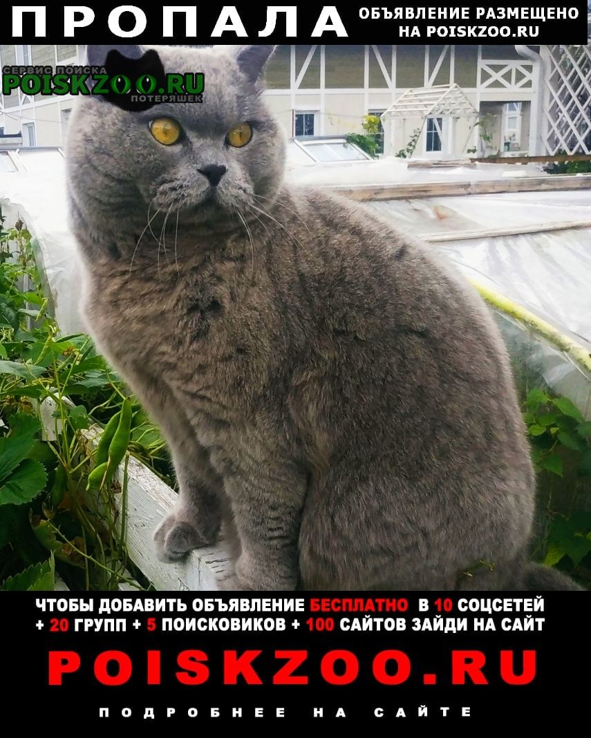 Пропал кот британец кастрированный Солнечногорск