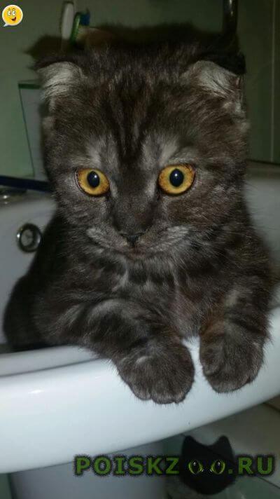 Пропала кошка вислоухая г.Ставрополь