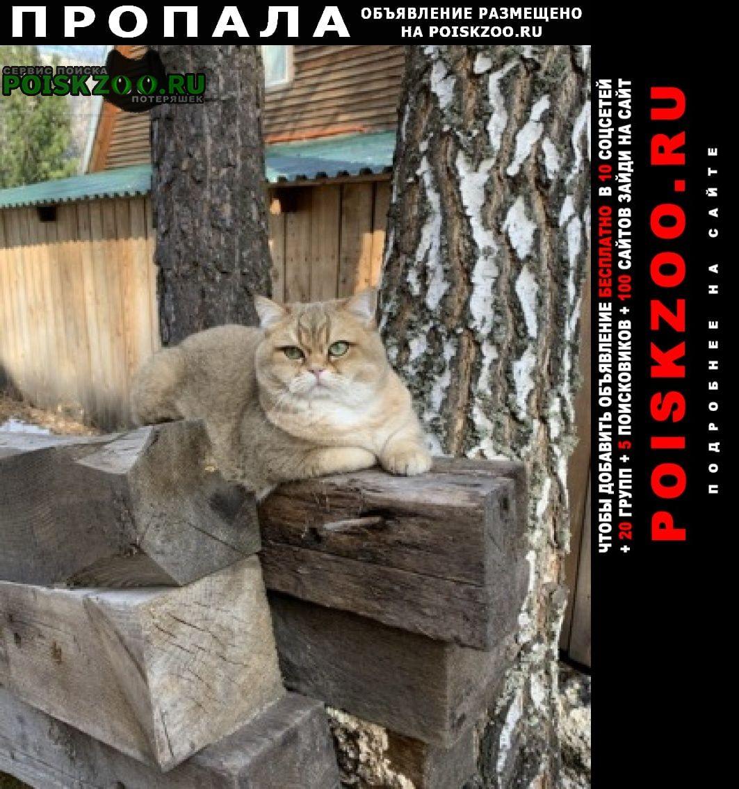 Пропала кошка нюша, британка Томск