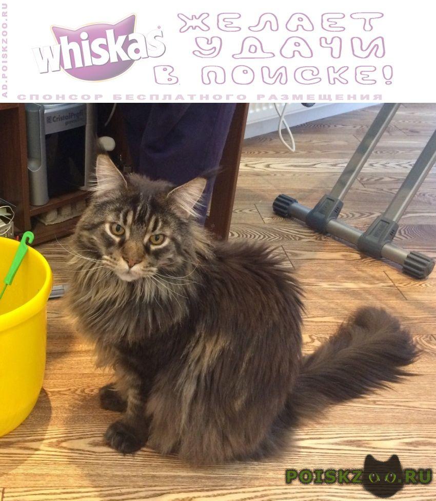 Пропал кот мейн-кун чендлер г.Санкт-Петербург