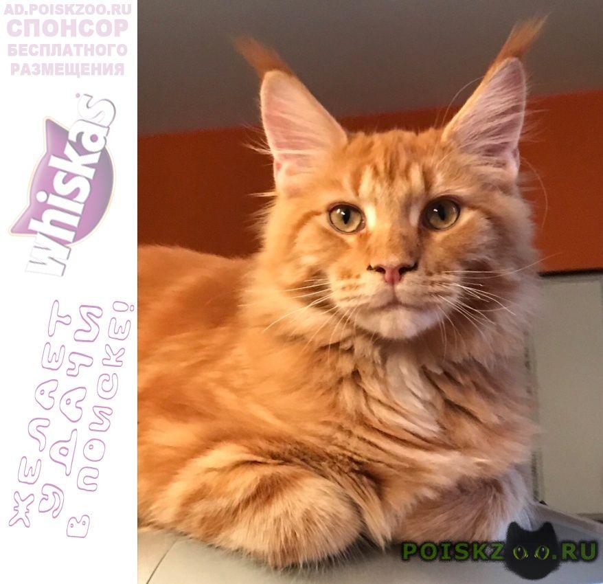 Пропал кот молодой рыжий мейн-кун. г.Санкт-Петербург