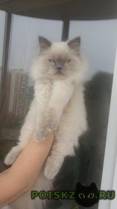 Пропал кот длинношерстный голубошлазый ик г.Щелково