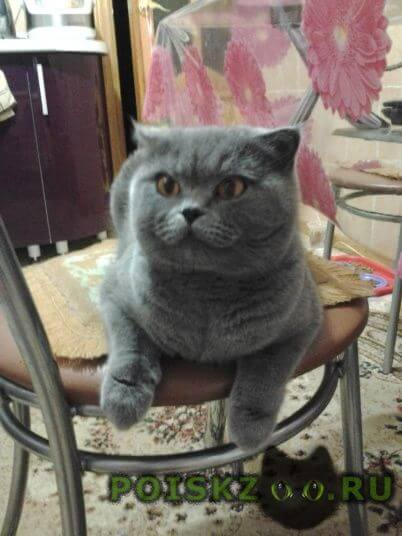 Пропала кошка шотланка г.Бердск