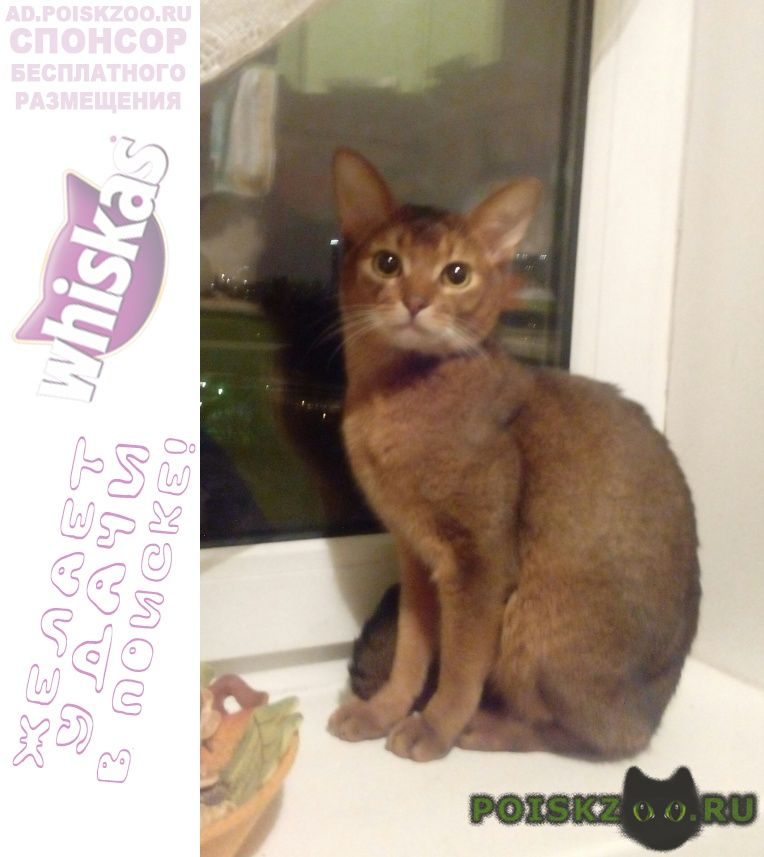 Пропал кот абиссинский дикого окраса г.Москва