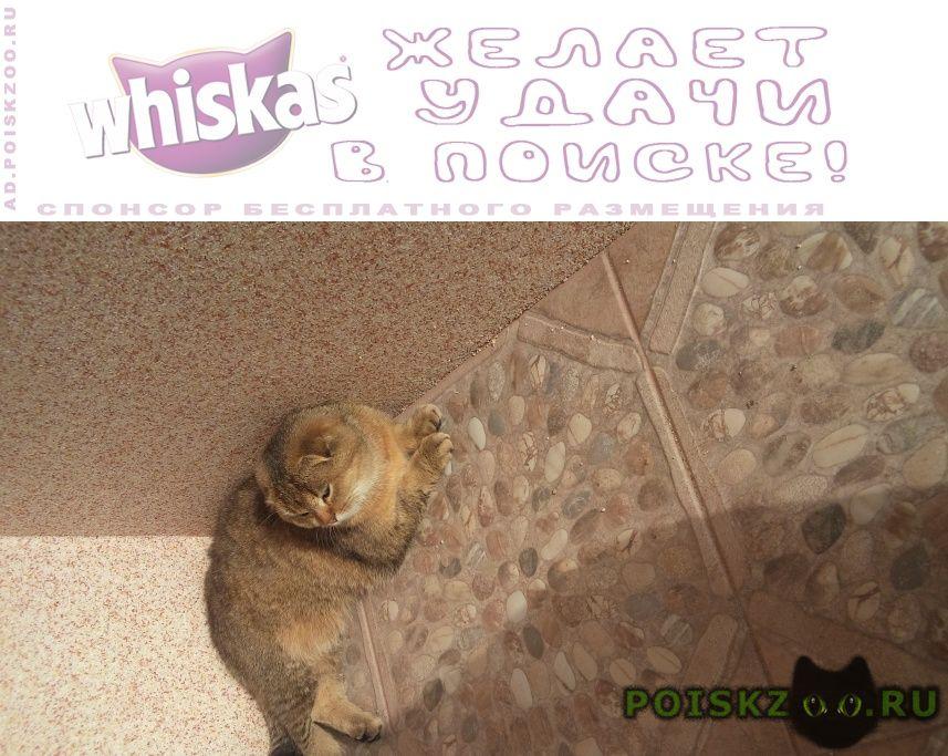 Пропала кошка золотая шотландская г.Сочи