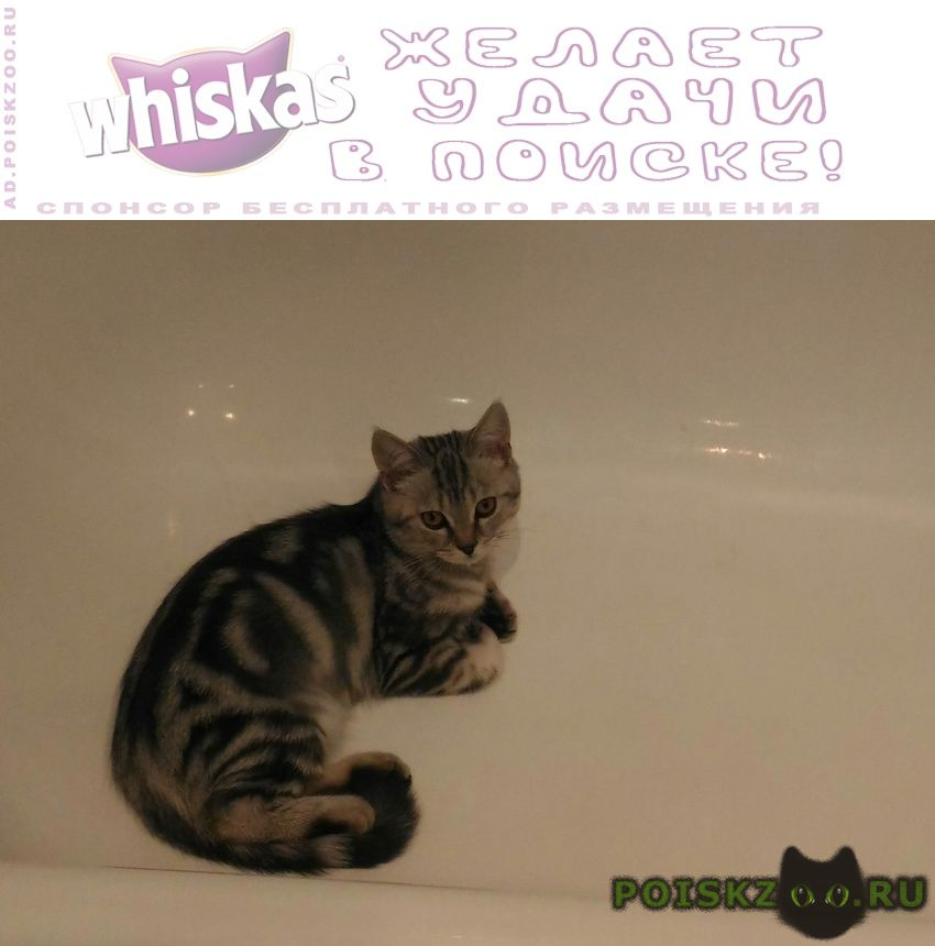 Пропала кошка кот - британец г.Богородск