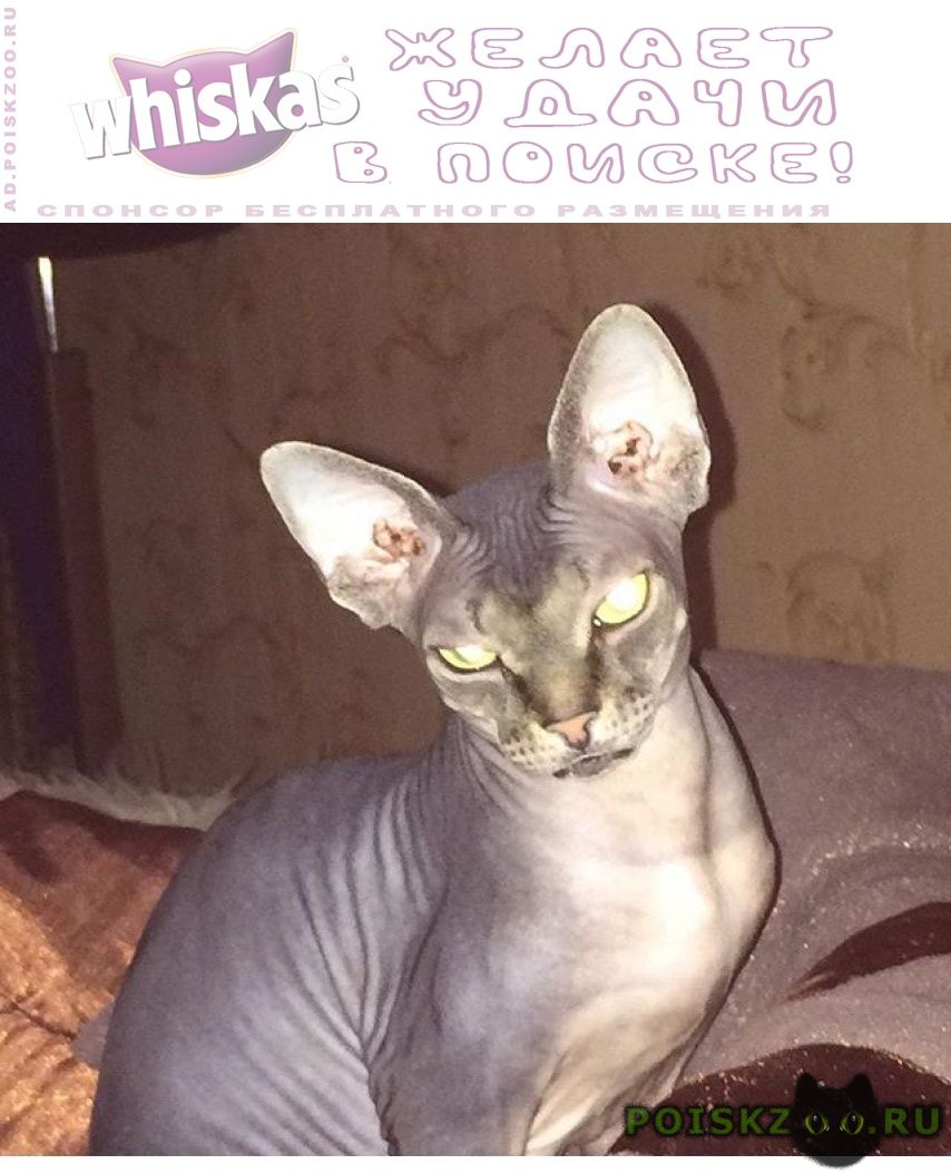 Пропала кошка сфинкс г.Балашиха