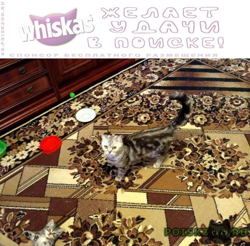 Пропала кошка шотландская прямоухая г.Казань