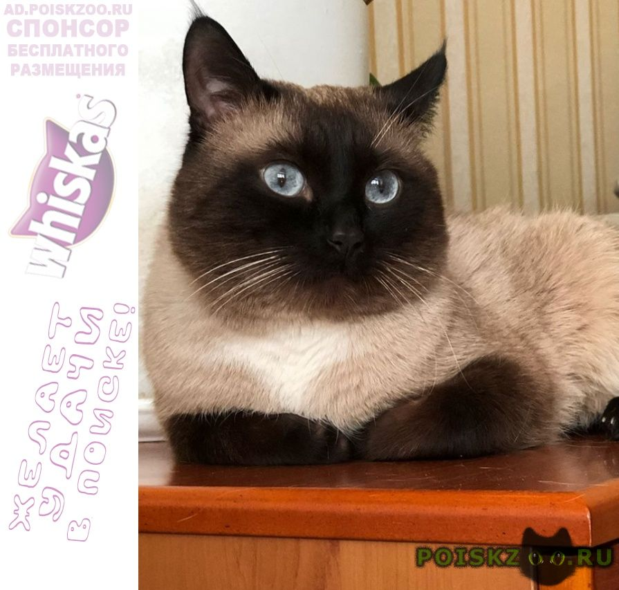 Пропал кот сиамский г.Химки