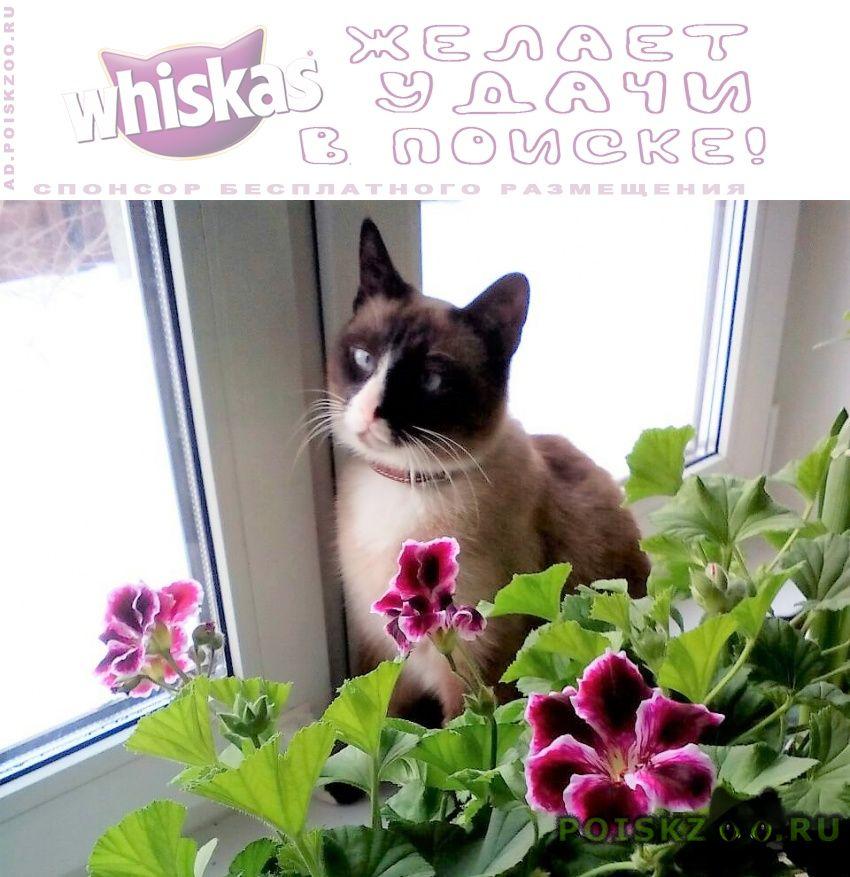 Пропала кошка сиамская сноу-шу г.Малаховка