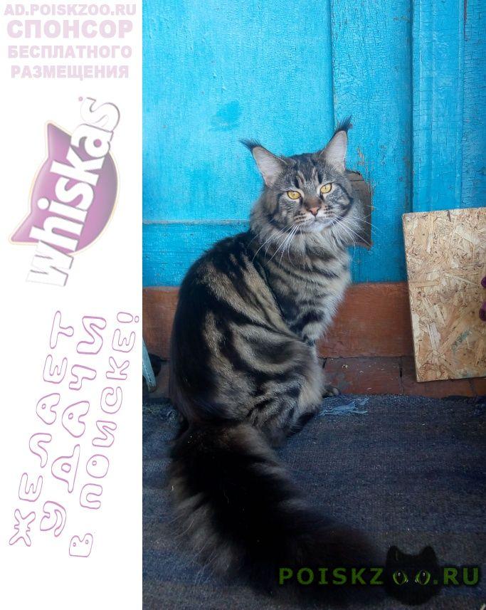 Пропал кот мейн-кун кузя г.Златоуст