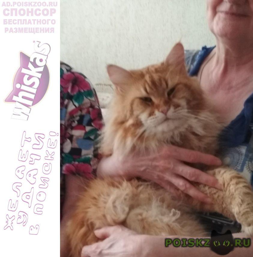 Пропал кот мейн-кун не кастрирован. красный мра г.Сергиев Посад
