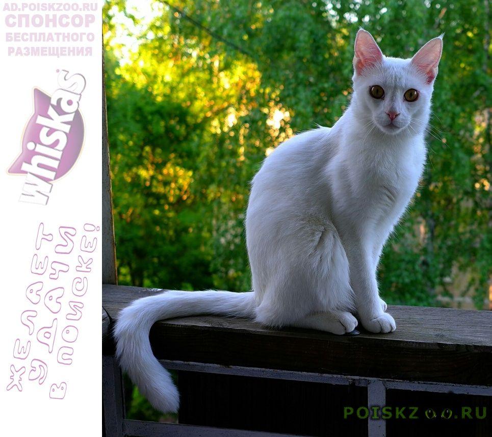 Пропал кот чисто-белый мейн-кун г.Солнечногорск
