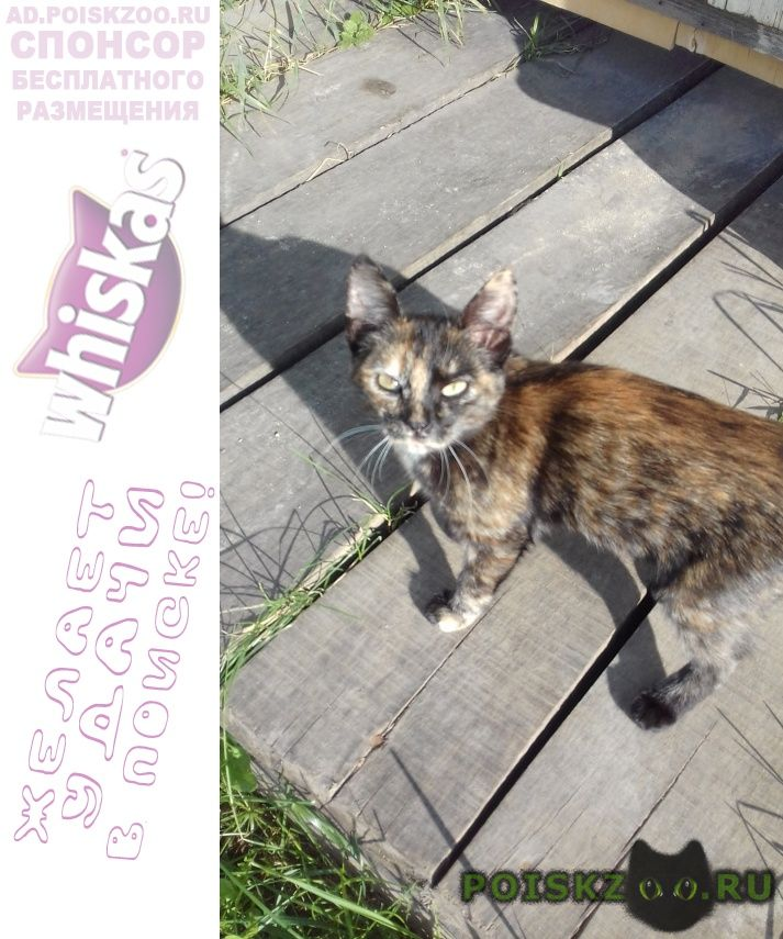 Пропала кошка 3-4 месяца, ходенькая, невзрачная г.Йошкар-Ола