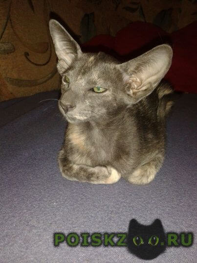 Пропала кошка ориентальная короткошерстная г.Краснодар