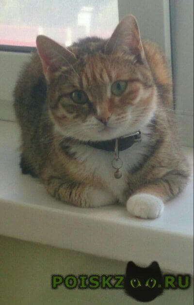 Пропала кошка г.Королев