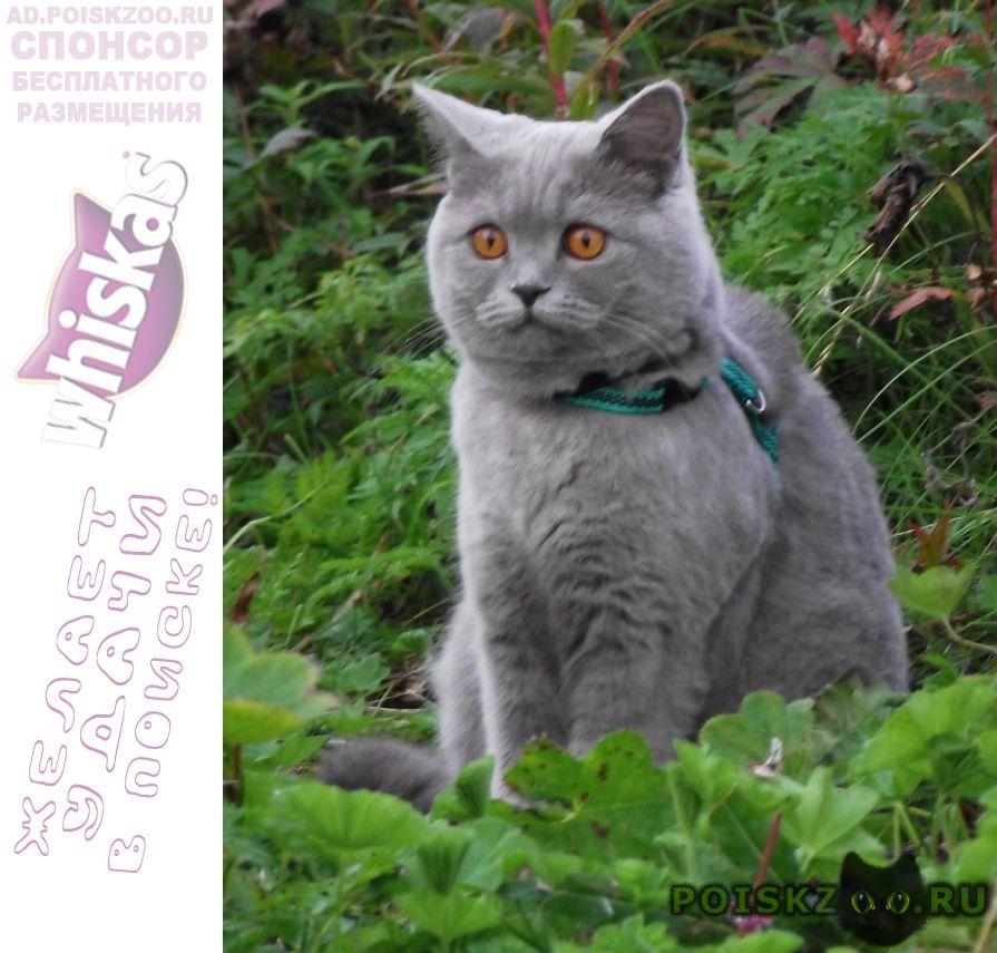 "Пропала кошка ""британка"" муся г.Мурманск"