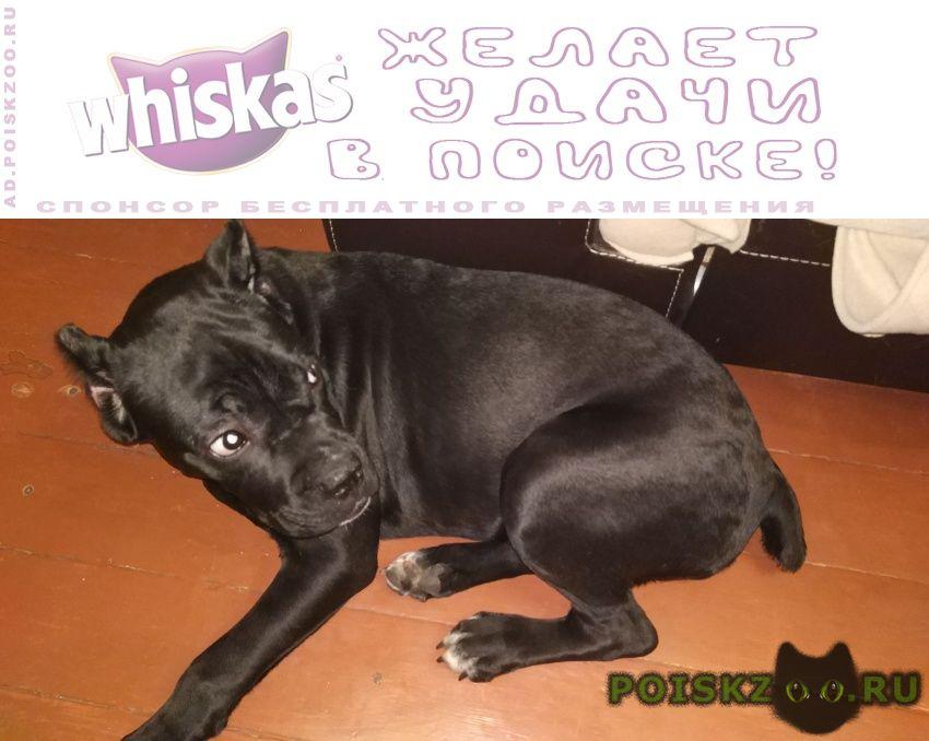 Пропала собака кане корсо щенок г.Челябинск
