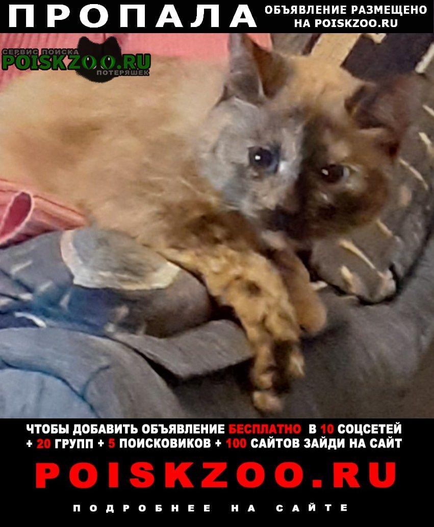 Пропала кошка смесовая сиамская ксюха Тула