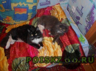 Пропал кот чёрный с белым г.Новокузнецк