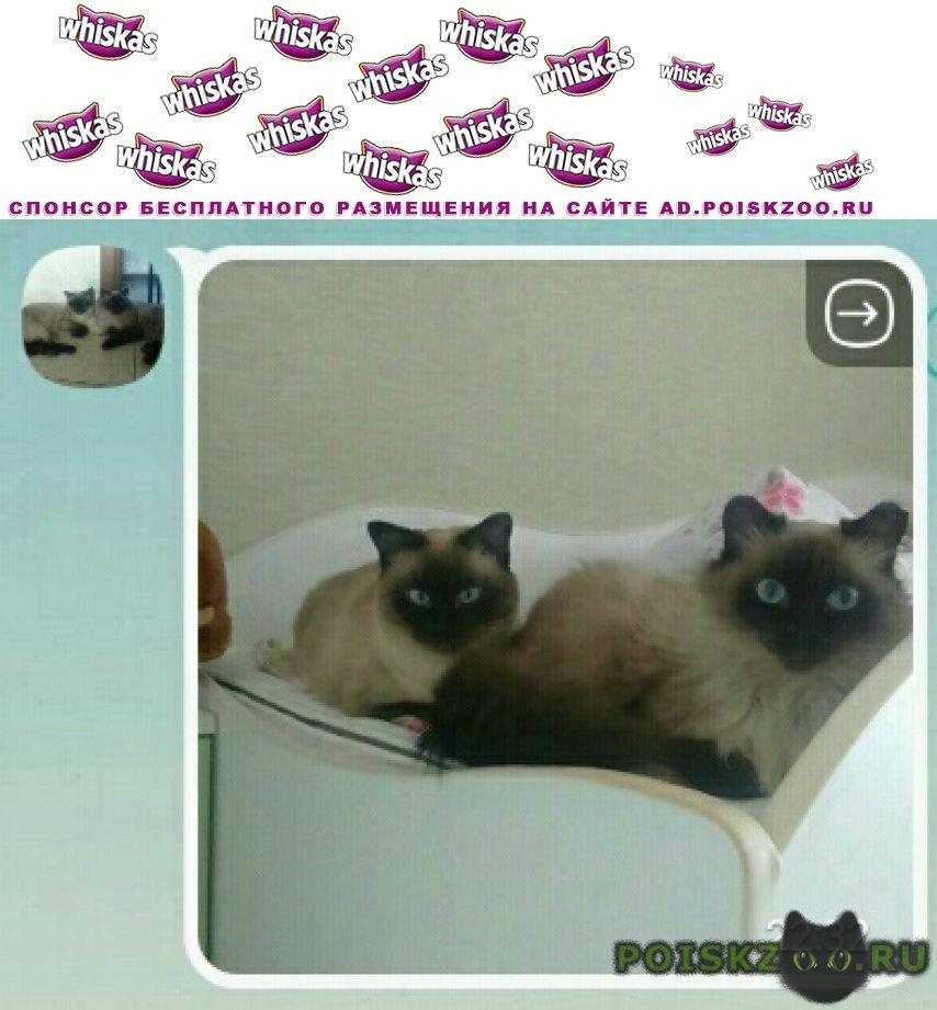 Пропала кошка потерялись две красавицы сиамские кошки г.Омск