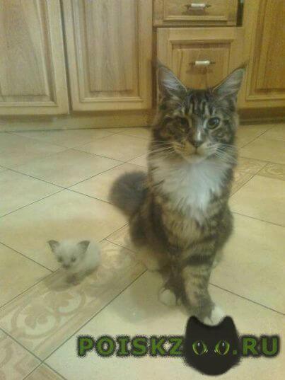 Пропал кот породы мейн-кун г.Пенза